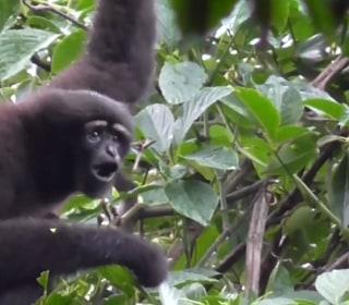 New 'Skywalker' Gibbon Species Makes Mark Hamill Proud