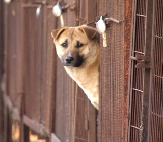 Dogs Destined for Dinner Table Get New Lives in U.S.
