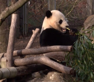 Bye-Bye, Bao Bao! Beloved Giant Panda Returning to China