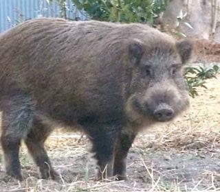 Radioactive Boars Hunted After Taking Over Towns Near Fukushima