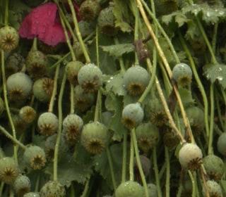 $500 Million Opium Poppy Field Discovered in North Carolina