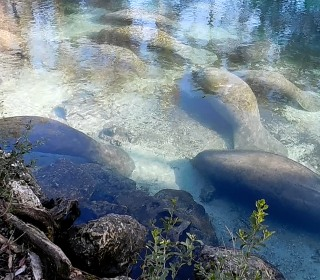 Manatees Escape the Cold In Wildlife Refuge
