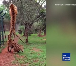 Tiger Jumps Higher Than Fence to Catch Meat Treat