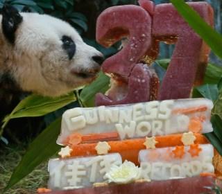 Giant Panda Jia Jia Celebrates her 37th Birthday