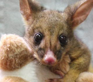 Bettina the Orphaned Bushtail Possum Finds Comfort in Toy Kangaroo