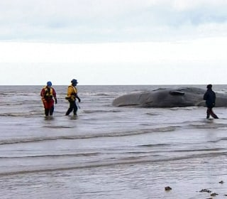 Whale Stranded on Beach for Second Time in a Few Weeks