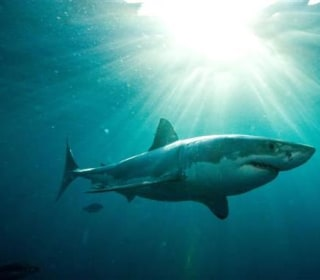 Great White Hype: What Are the Odds of Being Killed by a Shark?