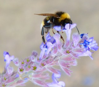 Bumblebees Are Being Bumped Off by Climate Change, Scientists Say
