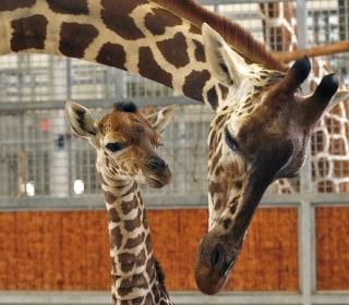 Baby Giraffe Kipenzi Dies After Running Into Wall at Dallas Zoo