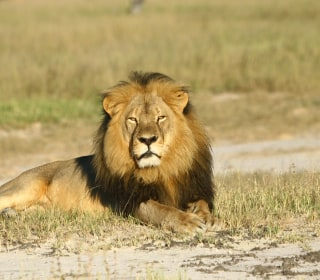Cecil Sequel: Zimbabwe Names Second American Lion Killer