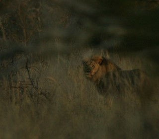 Jericho, 'Brother' of Cecil the Lion, Is Alive: Wildlife Officials