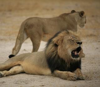 Cecil the Lion: Zimbabwe Safari Operator Says Animal Was 'Murdered'