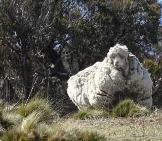 Sheep Shorn! Shearer Steps in to Save Woolly Beast