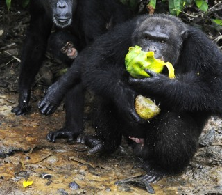 Scary Thought: Apes May Remember Shocking Horror Movie Scenes