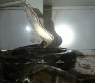Squeeze Play: Cops Save Shop Owner Attacked by 20-Foot Python