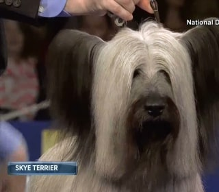 Charlie the Skye Terrier Wins 2015 National Dog Show