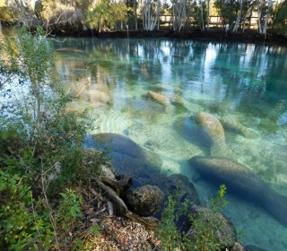 Hundreds of Manatees Clog Florida Wildlife Spring