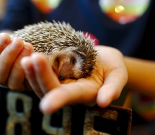 Hedgehogs Become Cuddle Buddies at New Tokyo Cafe