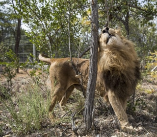 Two Lions, Freed From Circuses, Are Poached in South Africa