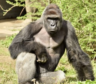 Harambe, Gorilla Killed at Cincinnati Zoo, 'Had to Pay the Price': Experts