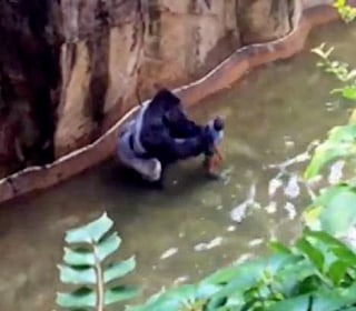 Killed Gorilla Seemed to Protect Child Who Fell in Enclosure: Witness