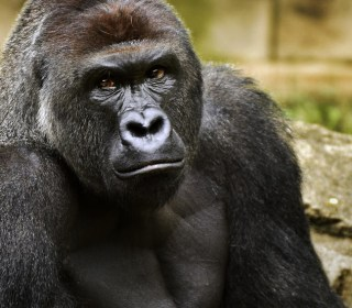 Gorilla Death: Do Zoos Sacrifice Safety for Close-Up Looks?