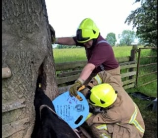 Cow With Head Stuck in Tree Is Freed by Firefighters