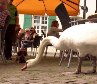 Alfred the Pushy Swan Causes a Stir in Essen Kettwig, Germany