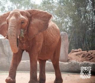 Zoo Elephant Throws Stone Toward Zoo Visitors, Killing Girl