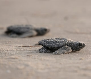 Sleepless for Sea Turtles: Padre Island Scientist's Devotion Pays Off