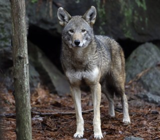 Red Wolf Territory Sharply Reduced Under New Federal Plan