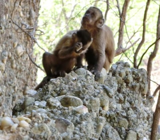 Monkeys Making Stone Flakes Cast Doubt on Early Human Theories