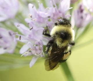 Trump Administation Delays Listing Rusty Patched Bumble Bee as Endangered Species