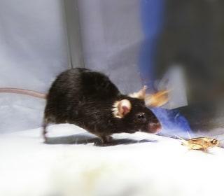 Killer Mice Show Where Hunting Instinct Starts in the Brain