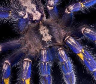Tarantula's Strange Hair May Bring Better Clothing, Digital Screens