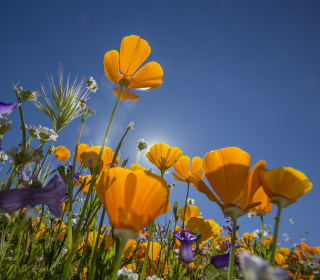 Wildflower Bloom Carpets Southern California in Vivid Color