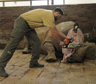 Czech Zoo Saws Horns Off Rhinos to Thwart Poachers