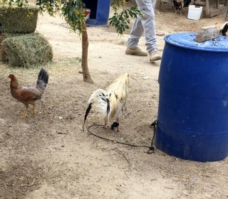 7,000 Birds Recovered in Massive Cockfighting Raid in California