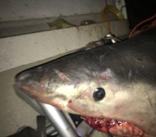 Great White Shark Leaps Into Australia Fisherman's Boat