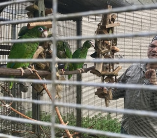 In Puerto Rico, a Hopeful Sight: Endangered Parrot Spotted After Hurricane Maria