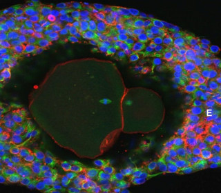 Human eggs grown to full maturity in a lab for first time