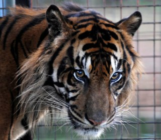 Tiger at prom? Miami school faces backlash for bringing exotic animal to dance
