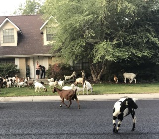 More than 100 goats descend on a neighborhood in Boise