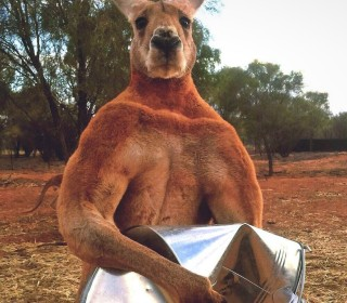 Roger, the internet's favorite buff kangaroo, has died