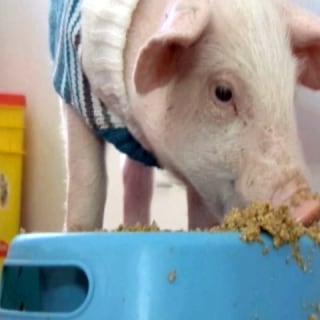 Blizzard Pig Finds New Home