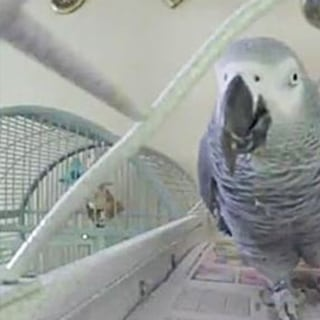 Suspect in Murder 'Witnessed' By Family Parrot Appears in Court