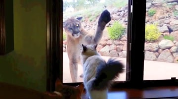 Watch house cat tease mountain lion from behind glass nbc news for you now watch house cat planetlyrics Gallery