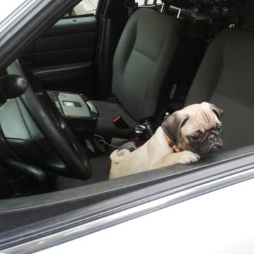 Mu Shu the pug peers out from a Riverside, California patrol car after being recovered by officers.