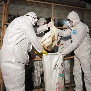 Image: Health officials in protective suits put a goose into a sack as part of preventive measures against the H7N9 bird flu at a poultry market in Zhuji
