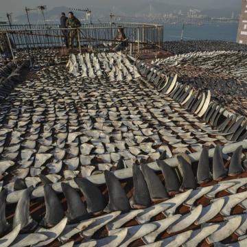 Image: HONG KONG-ENVIRONMENT-SPECIES-SHARK